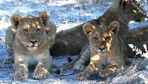 lion-1305802_960_720